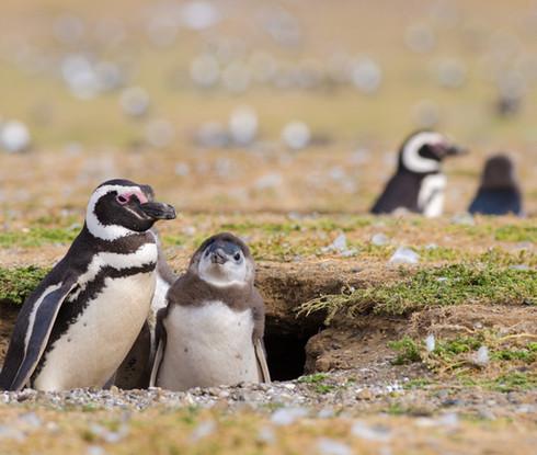 pinguino recien nacido