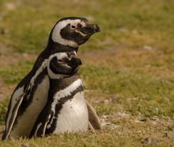 Pingüinos Magallanicos