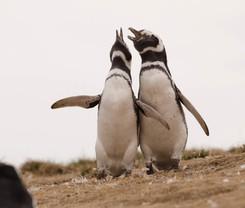 pinguinos en isla magdalena