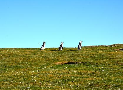 Pinguinos_Magallánicos.JPG