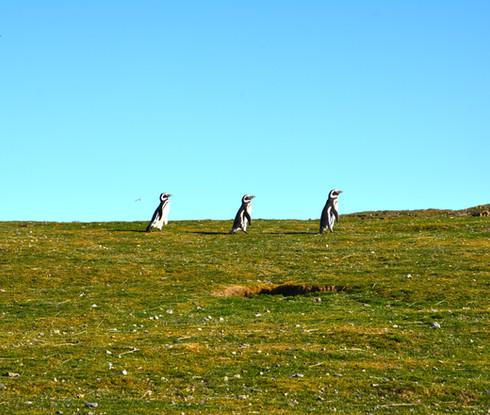 pinguinos caminando
