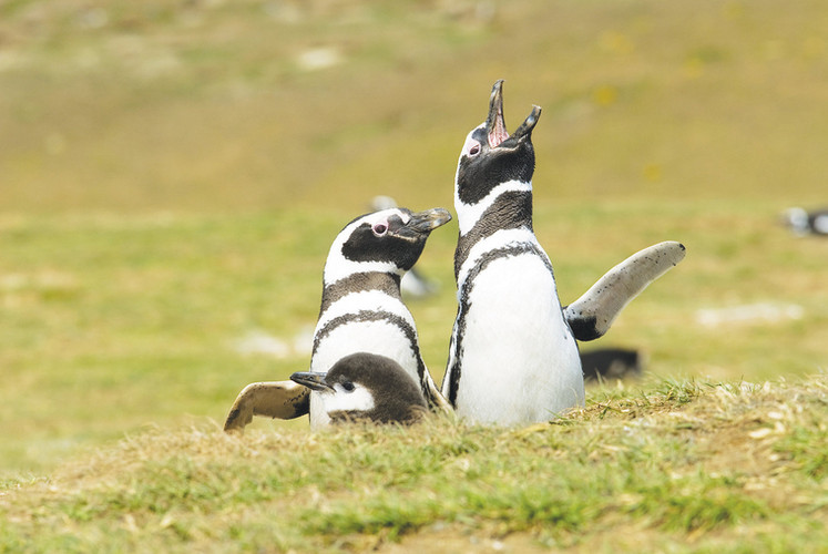 Penguins Magdalena Island