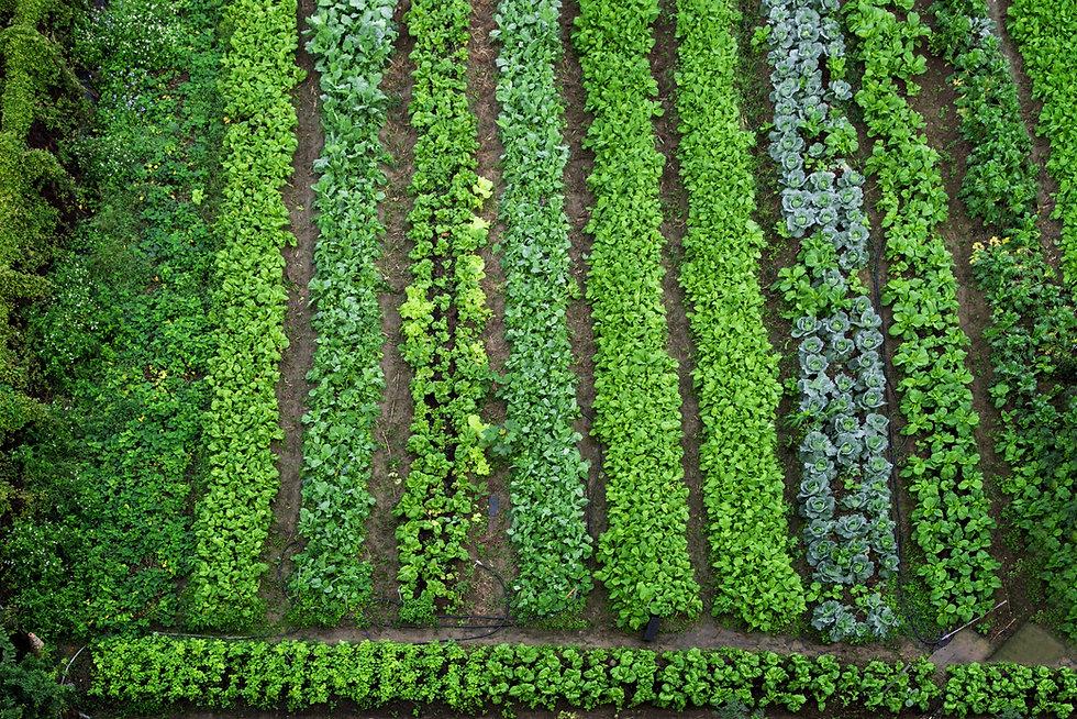 Green vegetable garden, top view.jpg