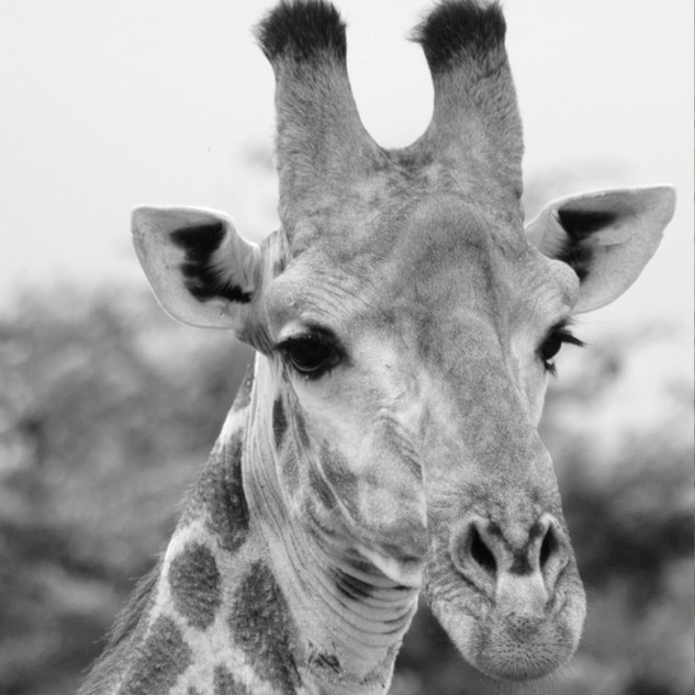 GIRAFFE%20HEAD%20FRAMED_edited.jpg
