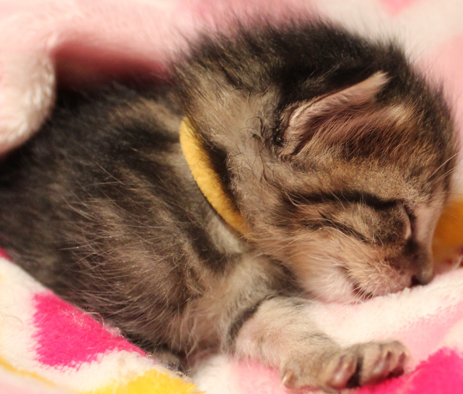 Fading Kitten Syndrome How To Save A Kitten
