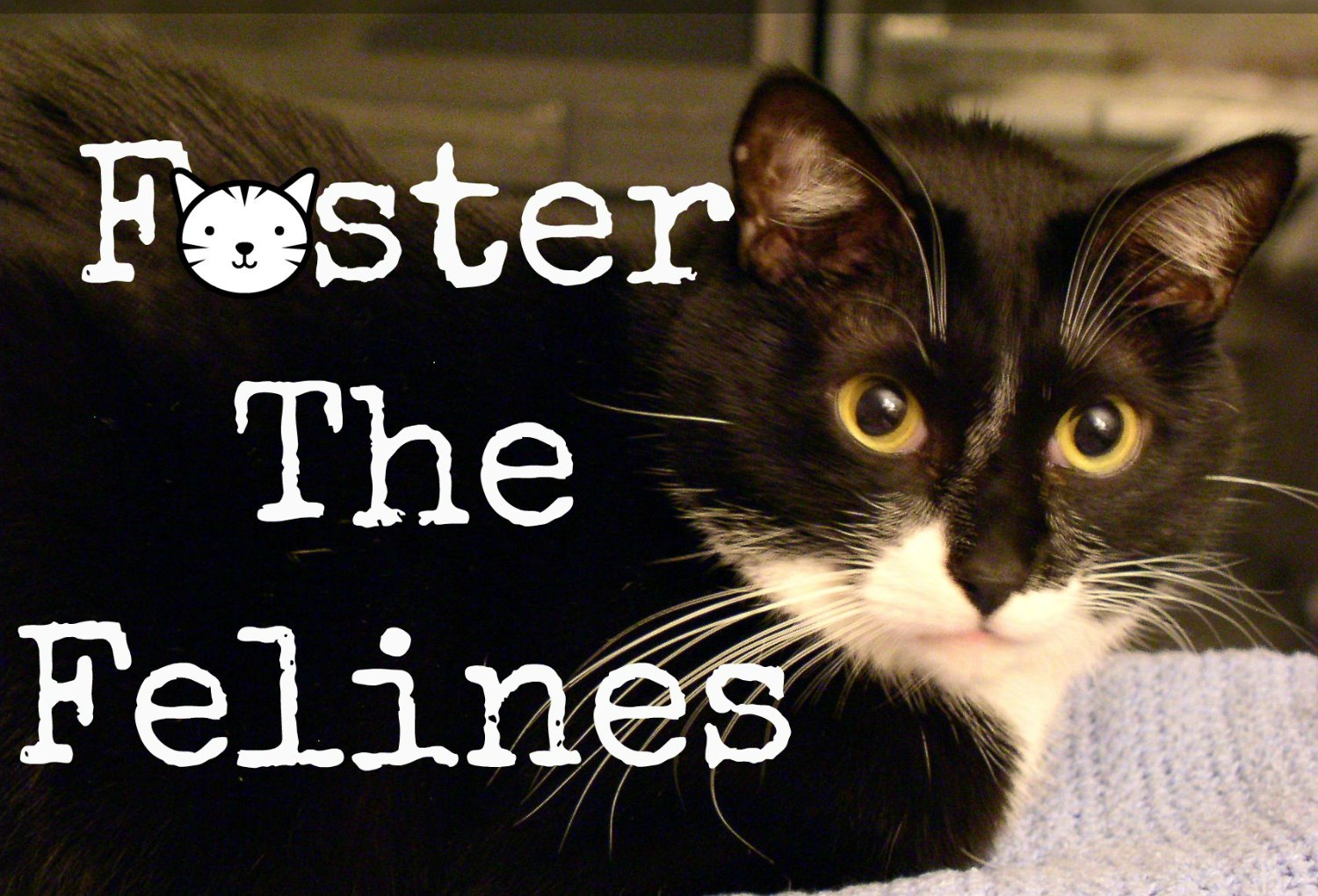 Foster The Felines Fostering Kittens To Save Lives