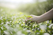 Green tea sm AdobeStock_246531028.jpeg