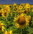 sunflowers sq.JPG