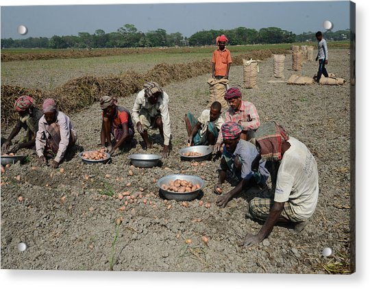 potato-harvesting-in-dhaka-nurphoto