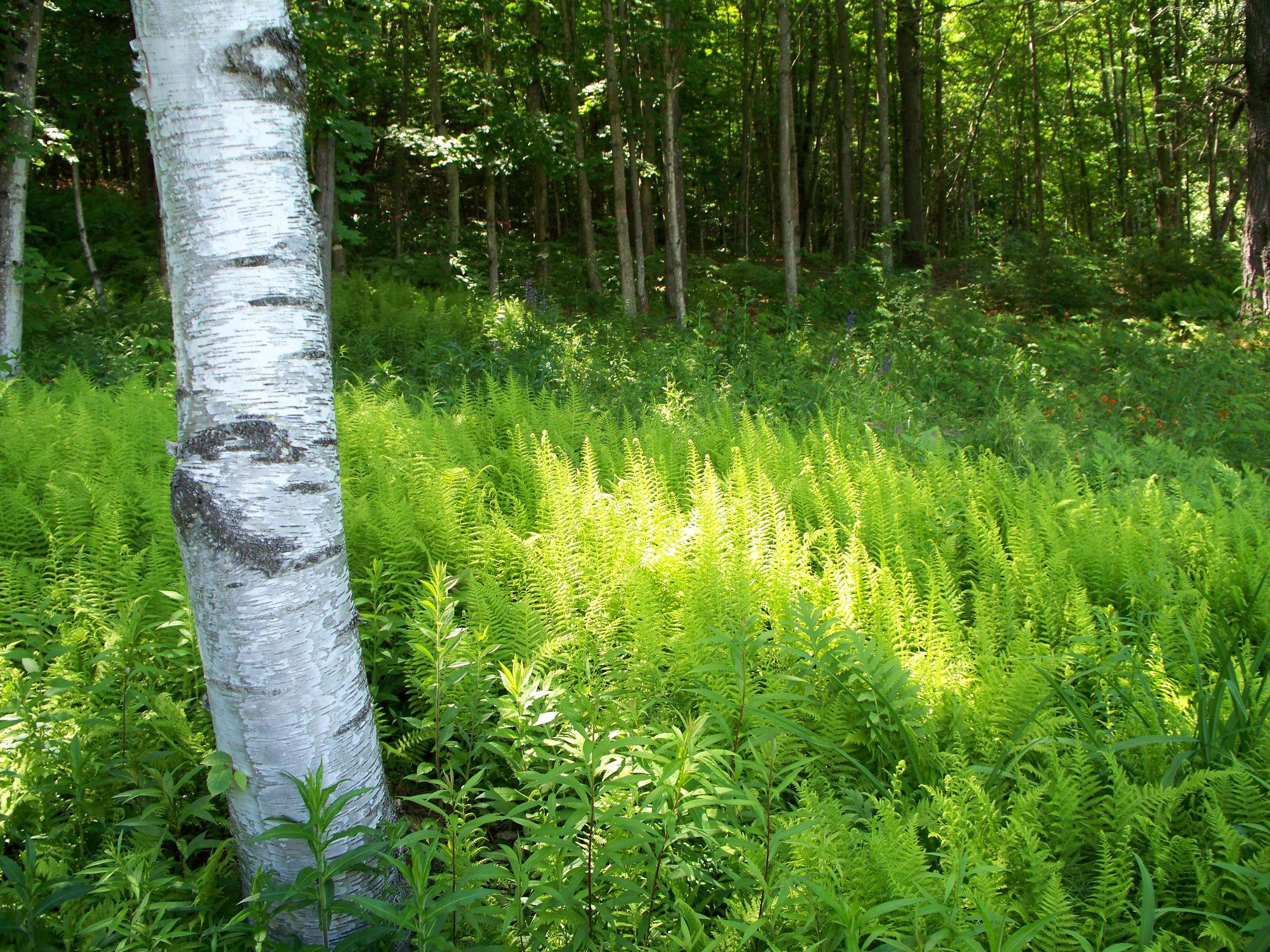 Sun in the ferns