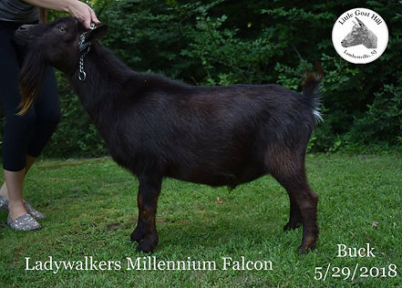 Lady Walkers Millennium Falcon Maplecrest Nigerian Dwarf Little Goat Hill