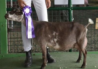 Little Goat Hill Fairlight Maplecrest Farm Nigerian Dwarf
