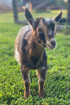 Maplecrest Farm OBFCNY SK Arabian Knight Nigerian Dwarf