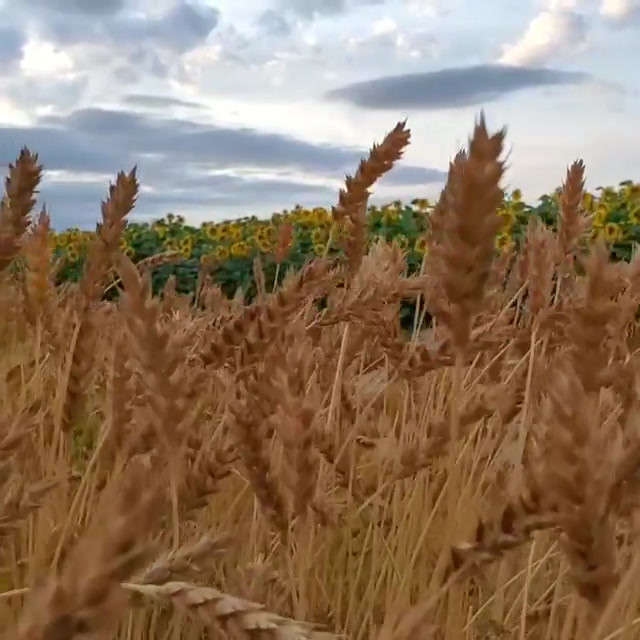 Sonora and sunflowers 🌾🌻.mp4