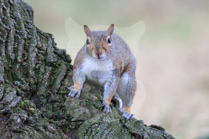 Grey squirrel climbing over tree stump