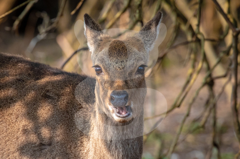 Sika deer mouth open
