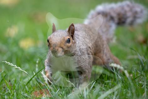 Grey squirrel stalking through grass
