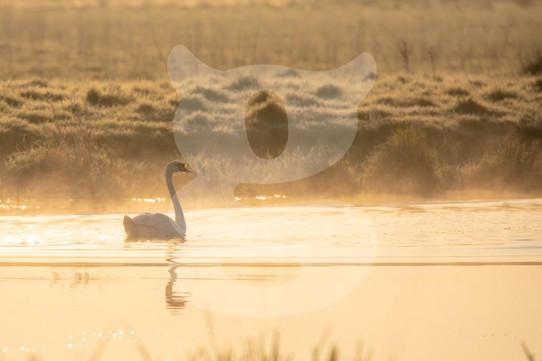 Misty Morning Mute Swan