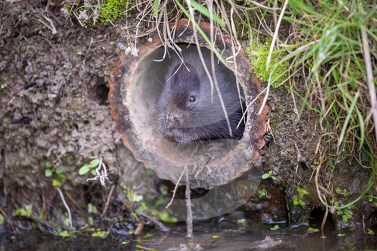 Water vole in drainage tunnel