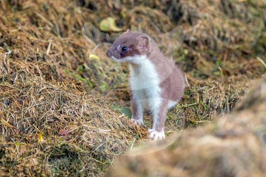 Stoat in grass clippings