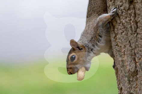 Grey squirrel with monkey nut climbing down tree