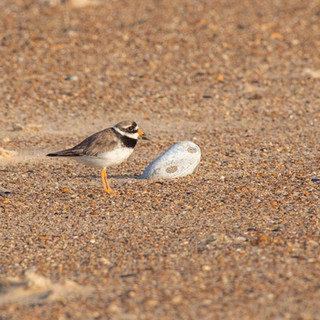 Common Ringed Plover >>