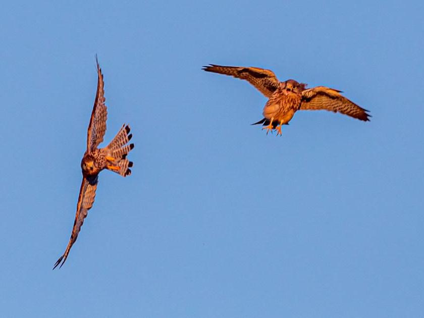 Kestrels fighting in flight
