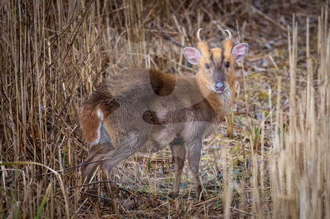 Muntjac drying off