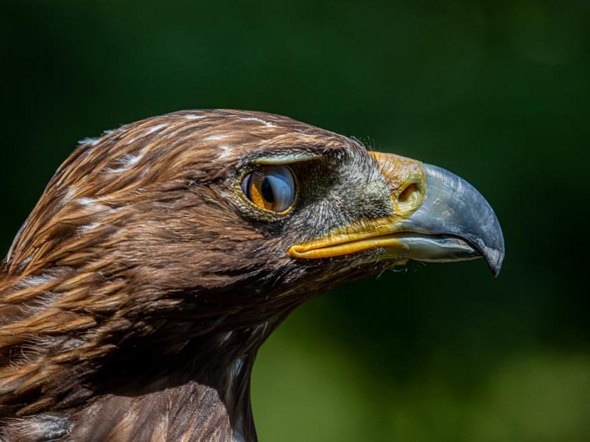 Golden Eagle mid-blink