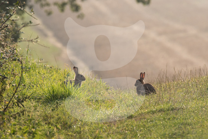 Pair of hares loverlooking a field