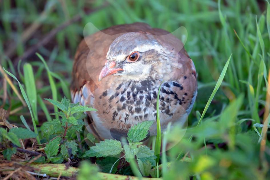 Red-legged Partridge