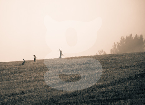 Three misty morning hares embarking on an adventure