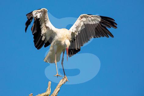 Balancing White Stork