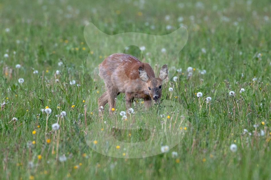 Cautious roe deer