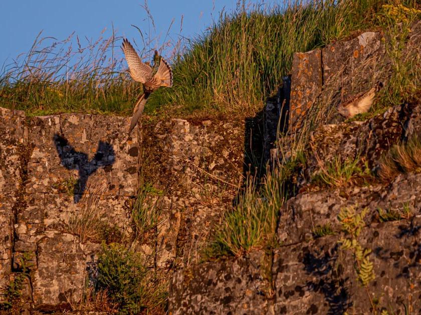 Kestrel around cliff