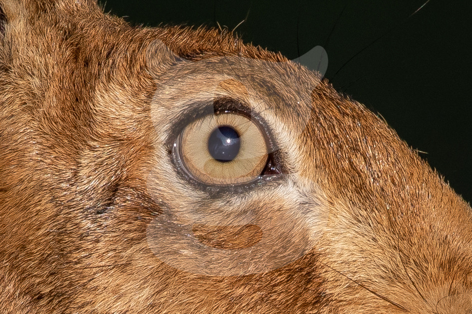 Brown hare eye close up