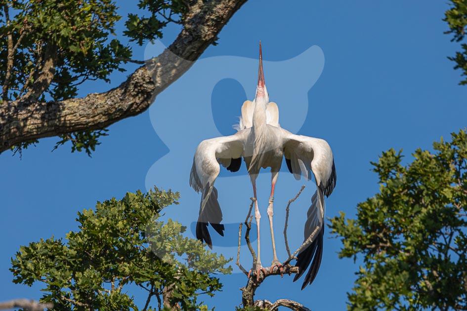 White Stork displaying