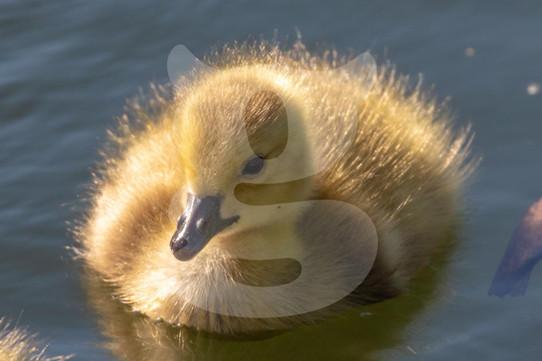 Canada Goose Chick