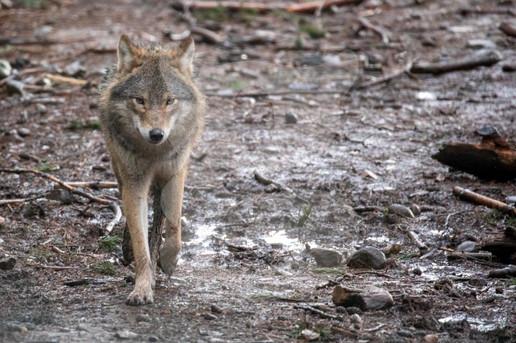 Grey wolf, Highland Wildlife Park, Scotland