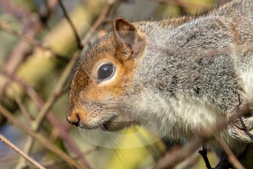 Grey squirrel oin branches
