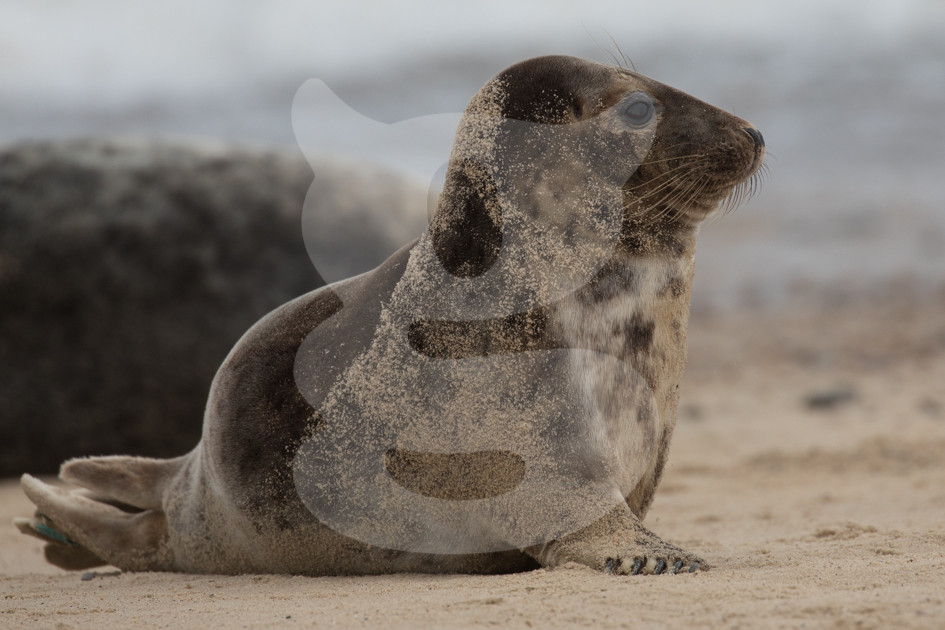 Grey seal sitting up
