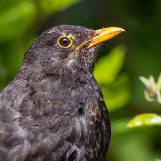 Blackbird >>