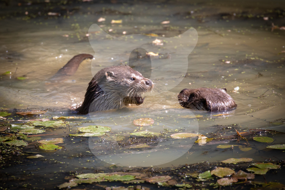 Otters play fighting