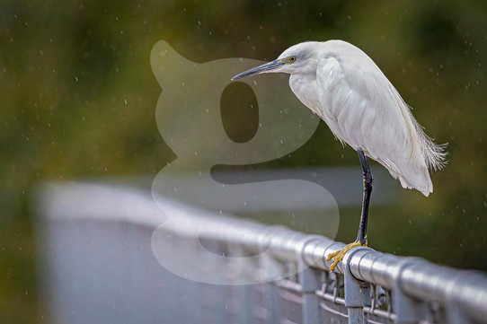 Little Egret in the rain