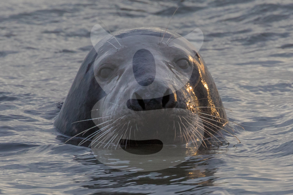 Grey seal emerging from the sea