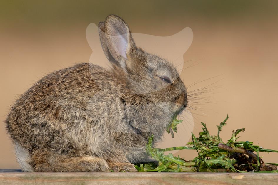 Rabbit kit feeding