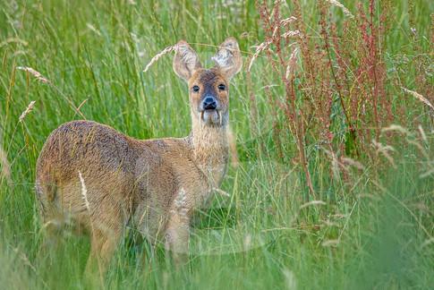 Chinese Water Deer, Cambridge