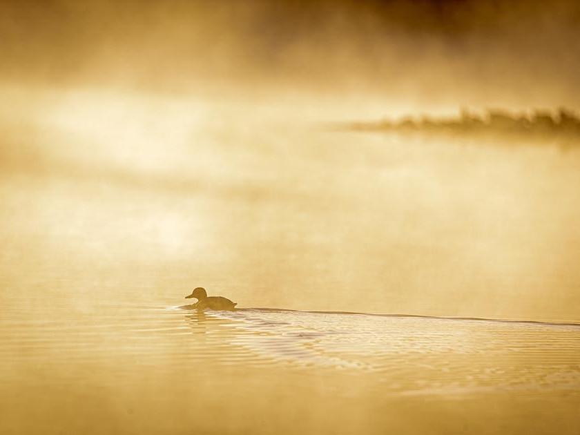 An early morning Mallard at Woorgreens Lake Nature Reserve