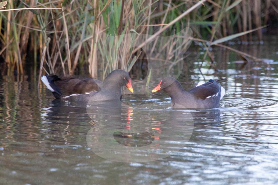 Pair of Moorhen