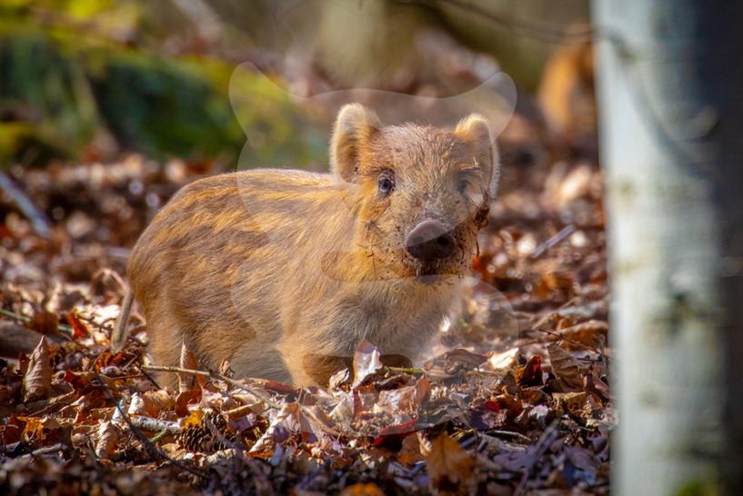 Wild boar piglet or 'humbug'